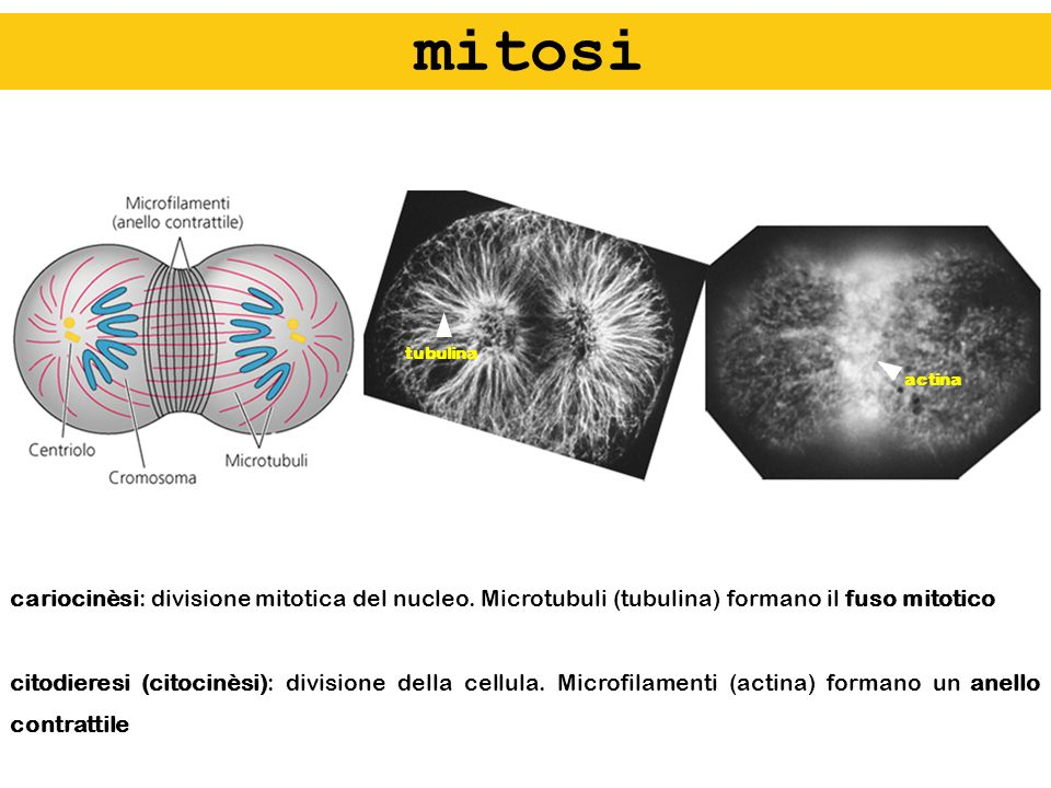 mitositubulina. actina. cariocinèsi: divisione mitotica del nucleo. Microtubuli (tubulina) formano il fuso mitotico.