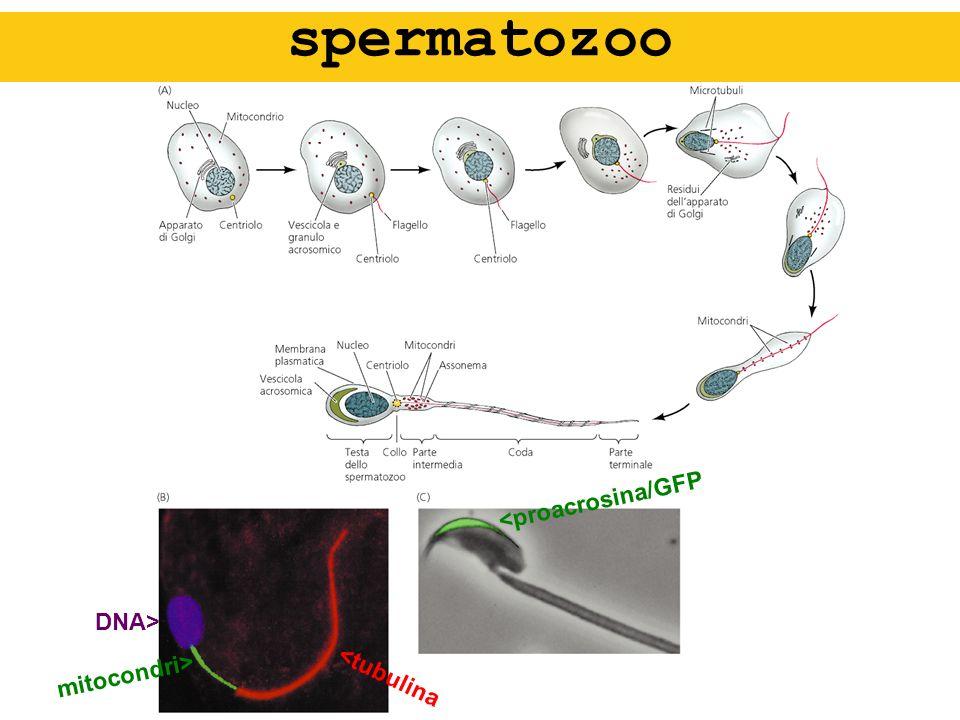 spermatozoo <proacrosina/GFP DNA> mitocondri> <tubulina