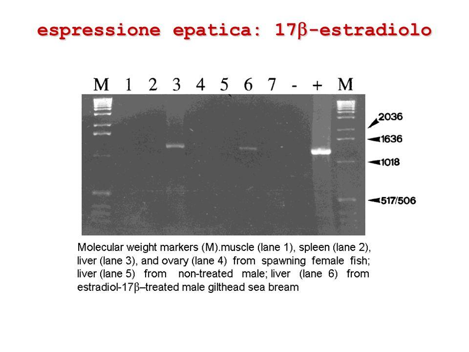 espressione epatica: 17-estradiolo