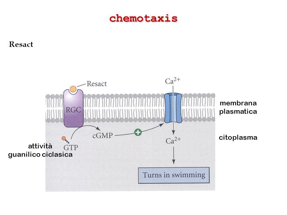 chemotaxis Resact membrana plasmatica citoplasma attività