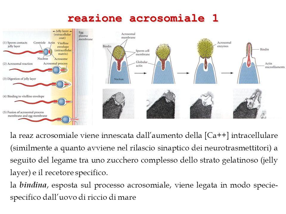 reazione acrosomiale 1