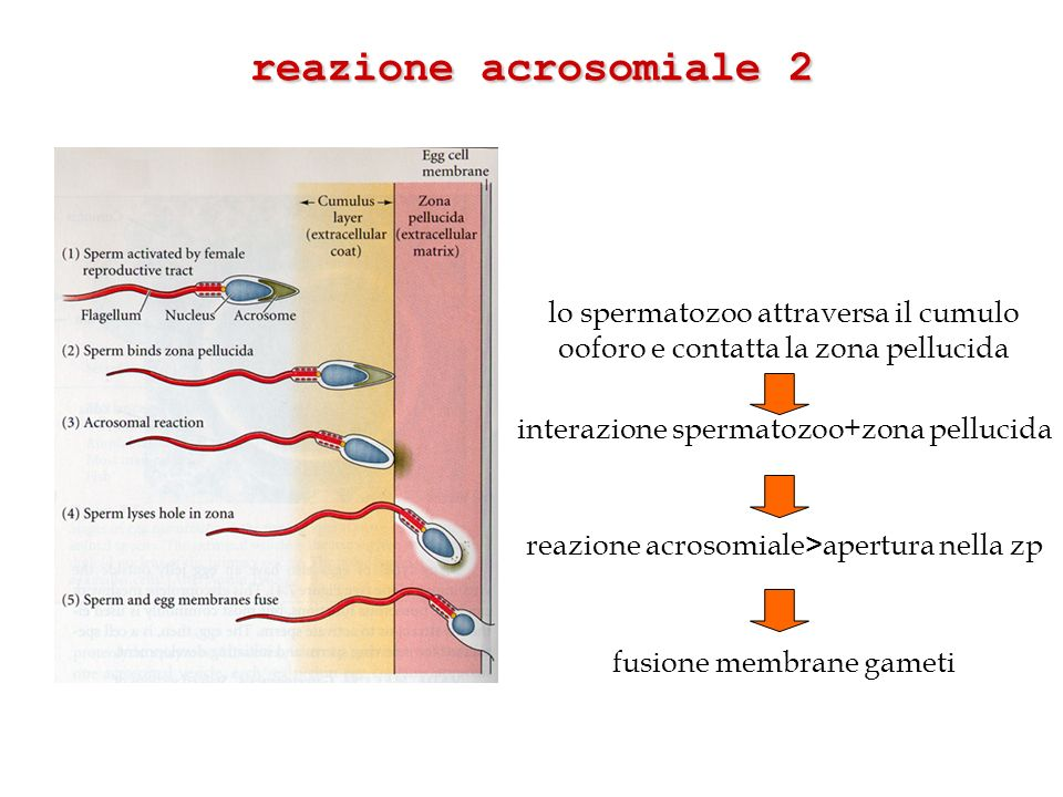 reazione acrosomiale 2 lo spermatozoo attraversa il cumulo ooforo e contatta la zona pellucida. interazione spermatozoo+zona pellucida.
