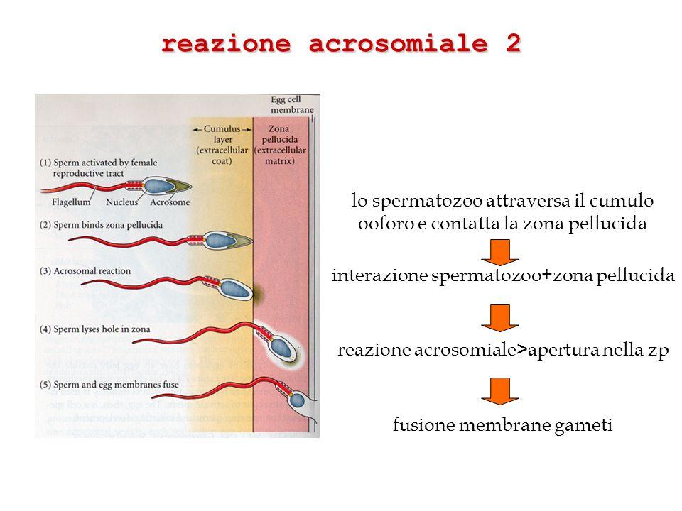 reazione acrosomiale 2lo spermatozoo attraversa il cumulo ooforo e contatta la zona pellucida. interazione spermatozoo+zona pellucida.