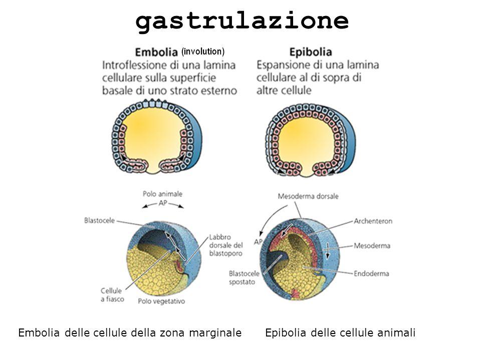 gastrulazione (involution) Embolia delle cellule della zona marginale Epibolia delle cellule animali.