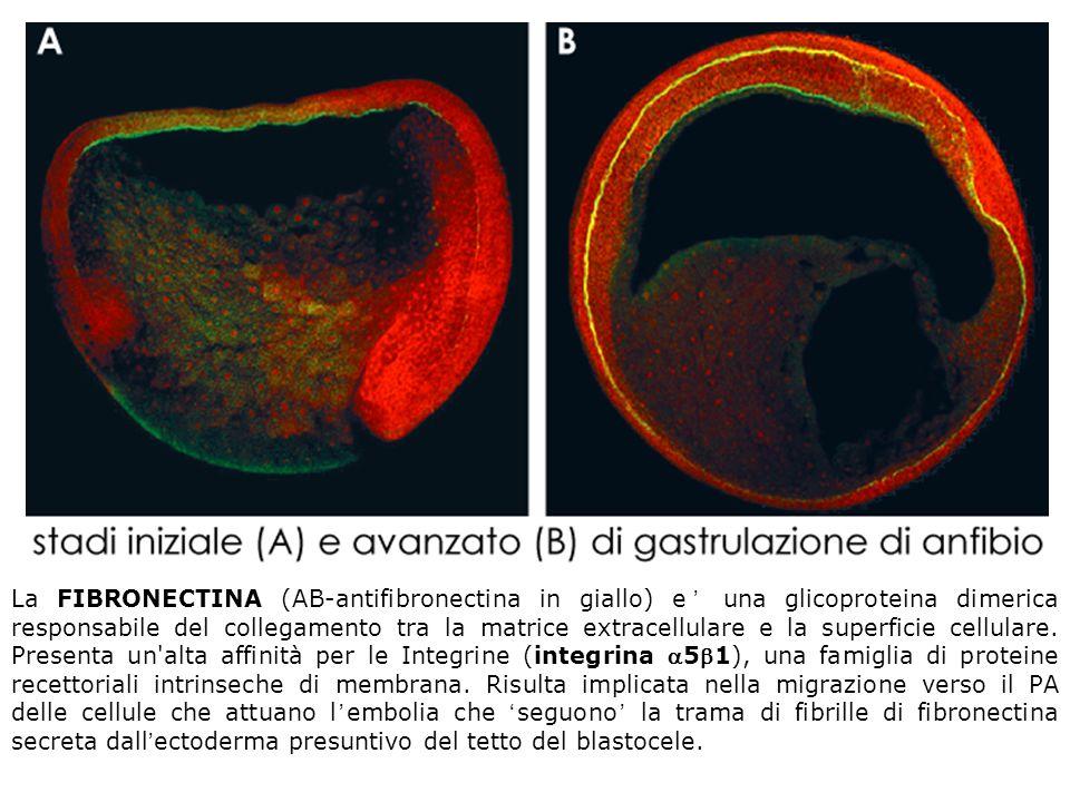 La FIBRONECTINA (AB-antifibronectina in giallo) e' una glicoproteina dimerica responsabile del collegamento tra la matrice extracellulare e la superficie cellulare.