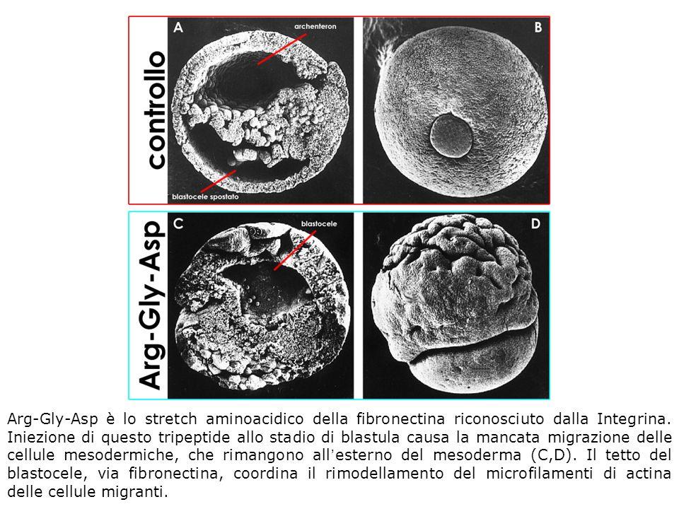 Arg-Gly-Asp è lo stretch aminoacidico della fibronectina riconosciuto dalla Integrina.