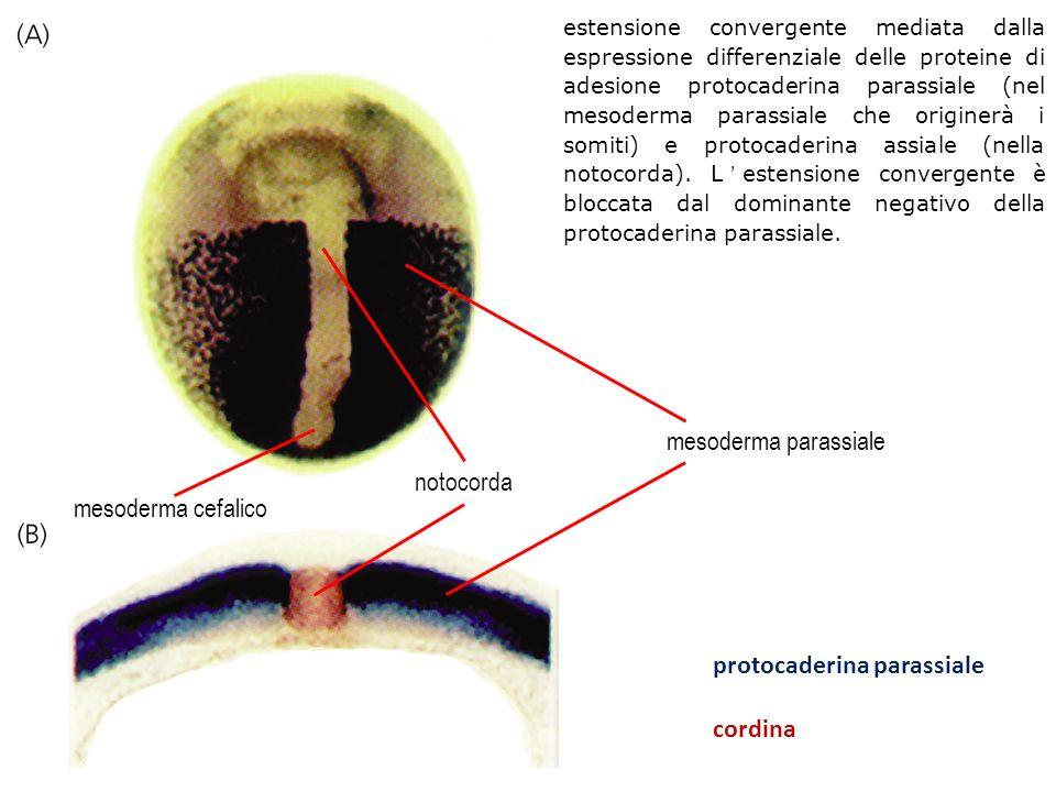 protocaderina parassiale cordina