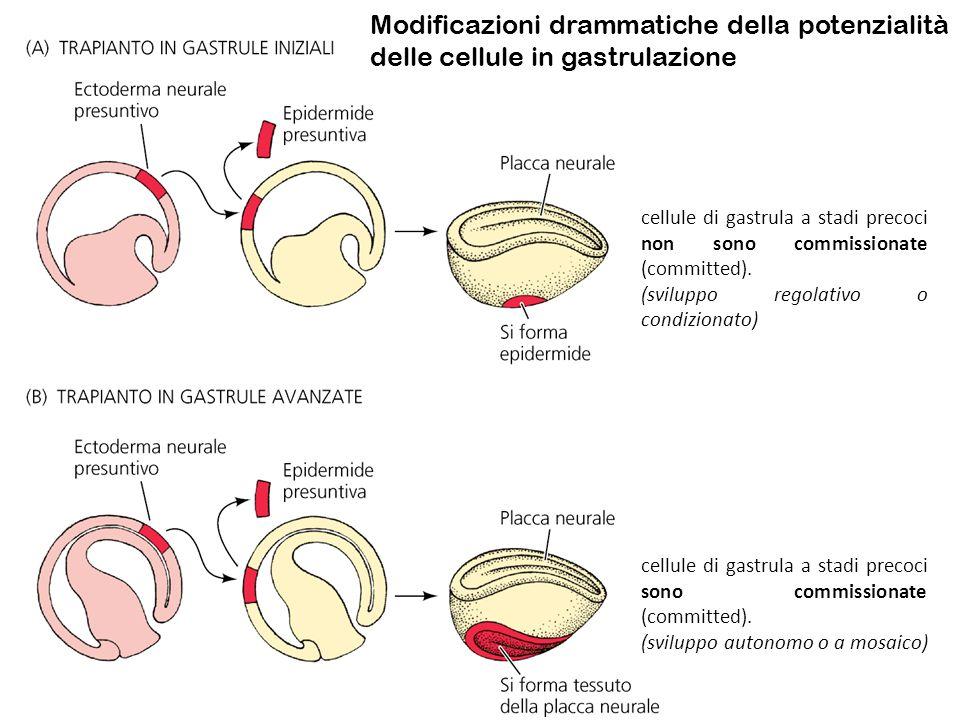 Modificazioni drammatiche della potenzialità delle cellule in gastrulazione