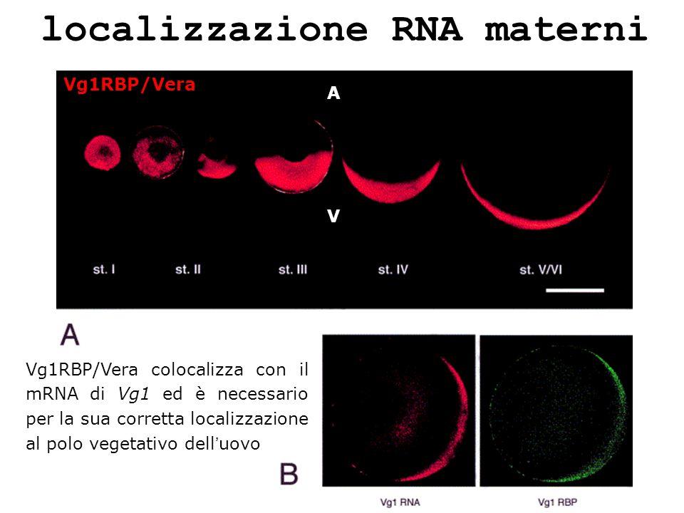 localizzazione RNA materni