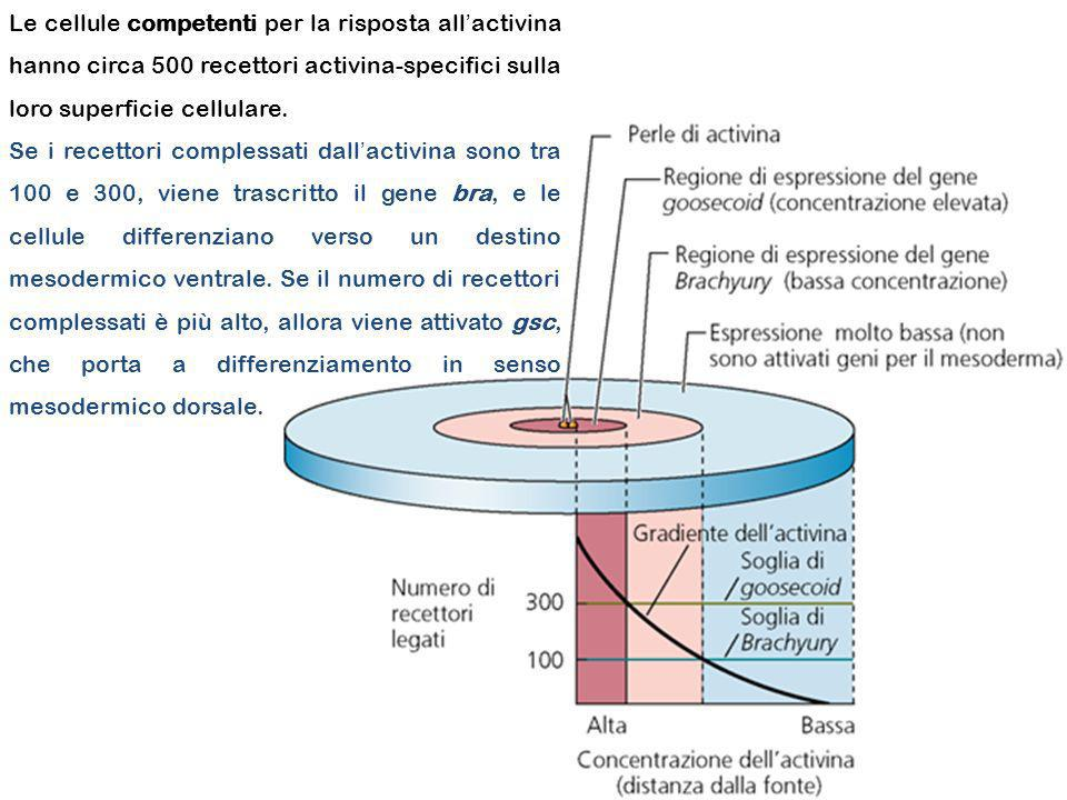 Le cellule competenti per la risposta all'activina hanno circa 500 recettori activina-specifici sulla loro superficie cellulare.
