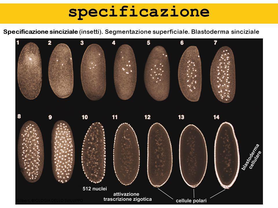 specificazione Specificazione sinciziale (insetti). Segmentazione superficiale. Blastoderma sinciziale.