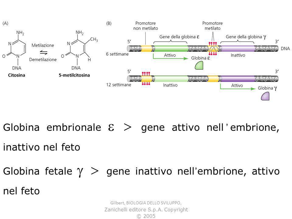 Globina embrionale e > gene attivo nell'embrione, inattivo nel feto