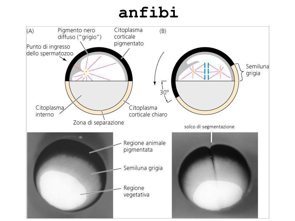 anfibi solco di segmentazione