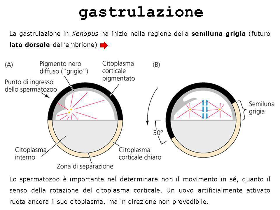 gastrulazione La gastrulazione in Xenopus ha inizio nella regione della semiluna grigia (futuro lato dorsale dell'embrione)