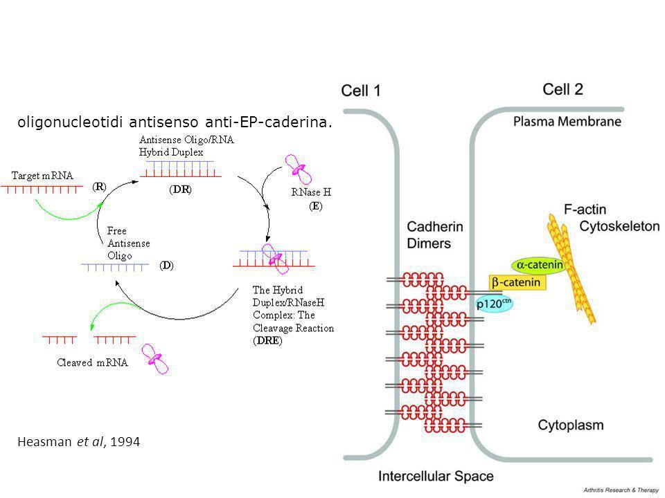 oligonucleotidi antisenso anti-EP-caderina.