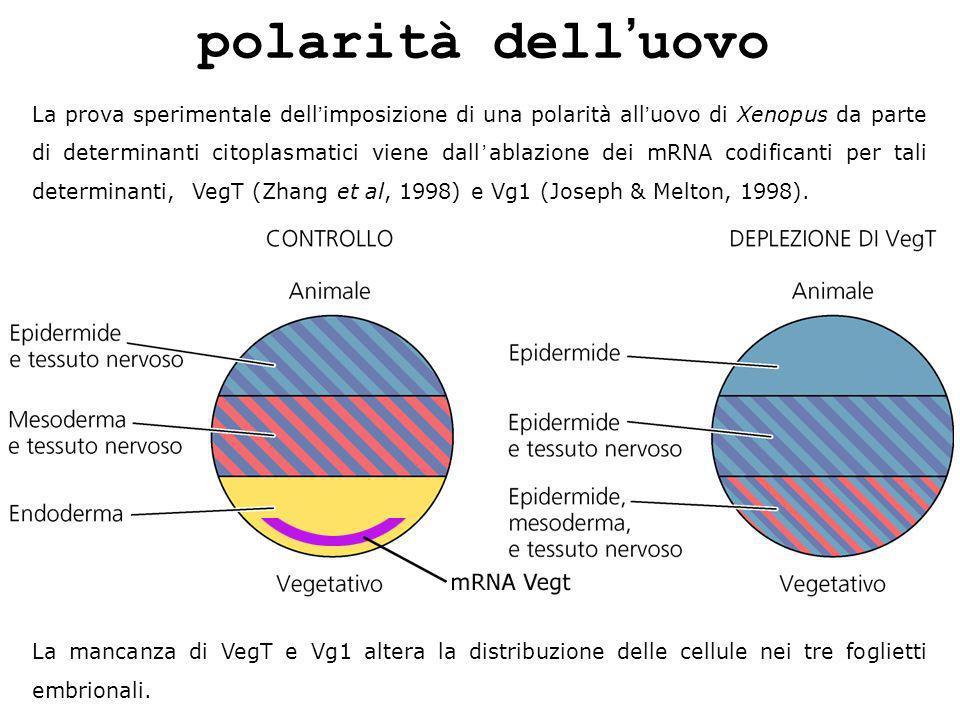 polarità dell'uovo