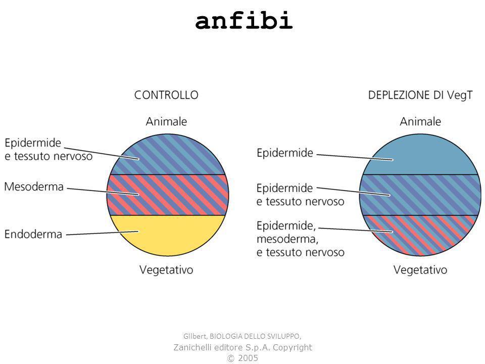 anfibi Gilbert, BIOLOGIA DELLO SVILUPPO, Zanichelli editore S.p.A. Copyright © 2005