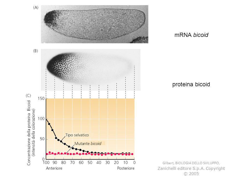 mRNA bicoid proteina bicoid