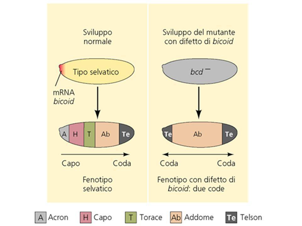 Prove che bcd è il morfogeno anteriore