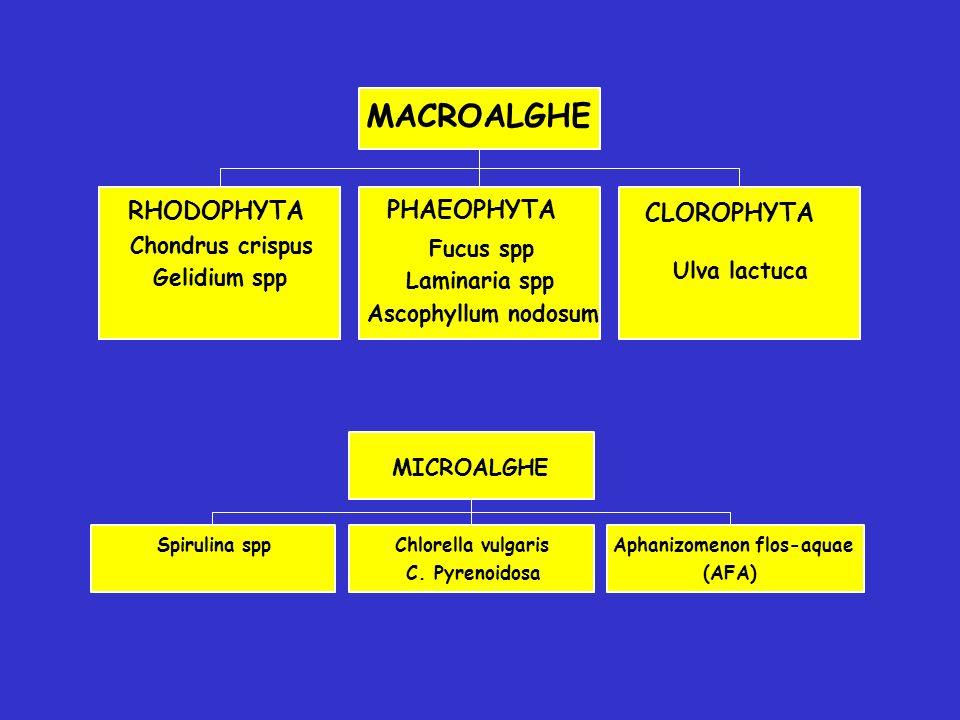 MACROALGHE RHODOPHYTA PHAEOPHYTA CLOROPHYTA Chondrus crispus Fucus spp