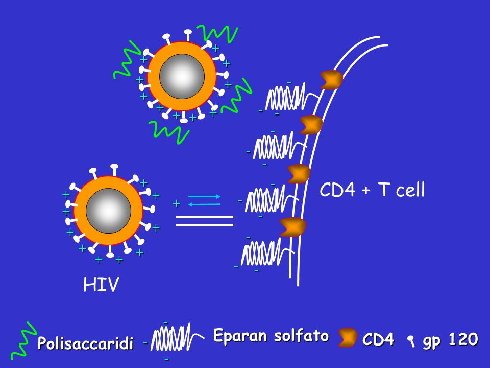CD4 + T cell HIV Eparan solfato gp 120 CD4 Polisaccaridi + + + + - + +