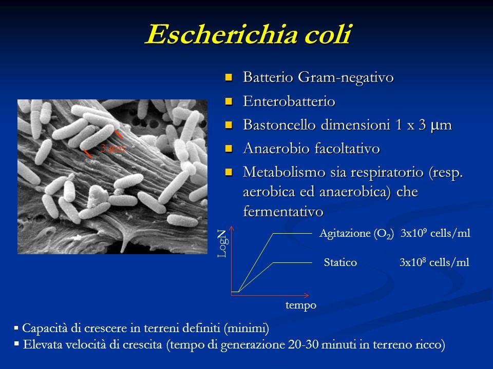 Escherichia coli Batterio Gram-negativo Enterobatterio