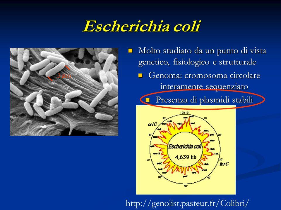 Escherichia coli Molto studiato da un punto di vista genetico, fisiologico e strutturale. Genoma: cromosoma circolare interamente sequenziato.