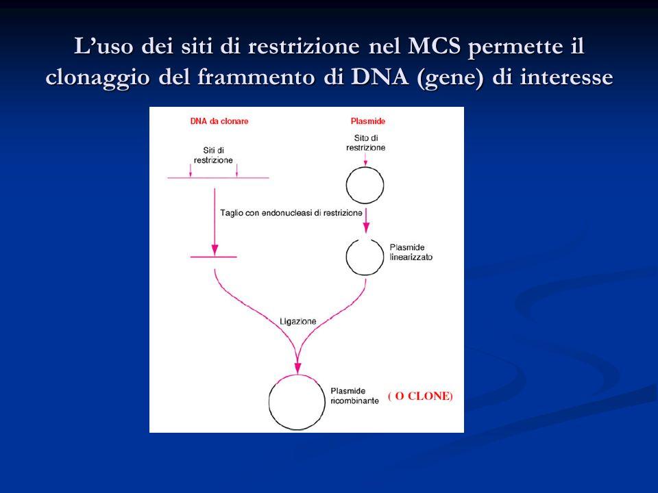 L'uso dei siti di restrizione nel MCS permette il clonaggio del frammento di DNA (gene) di interesse