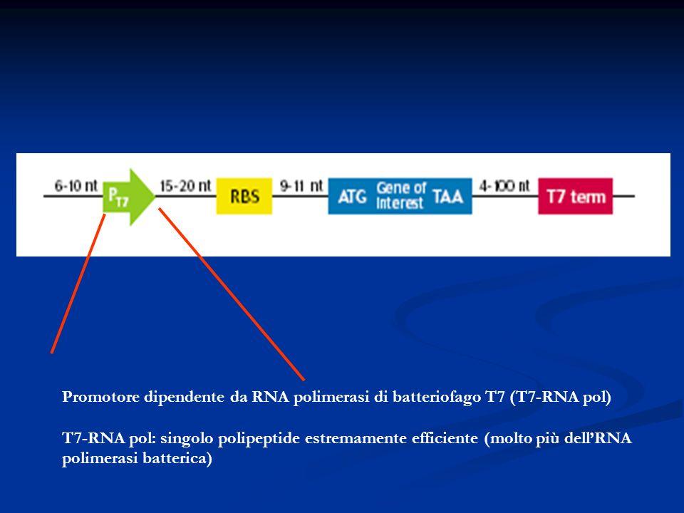 Promotore dipendente da RNA polimerasi di batteriofago T7 (T7-RNA pol)