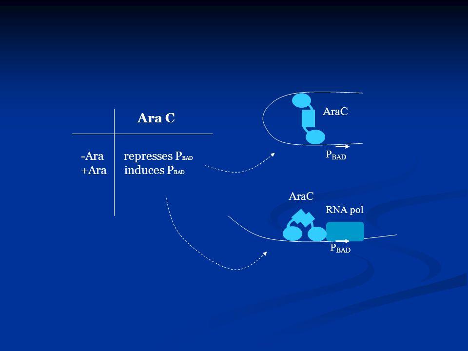 AraC Ara C Ara represses PBAD +Ara induces PBAD PBAD AraC RNA pol PBAD