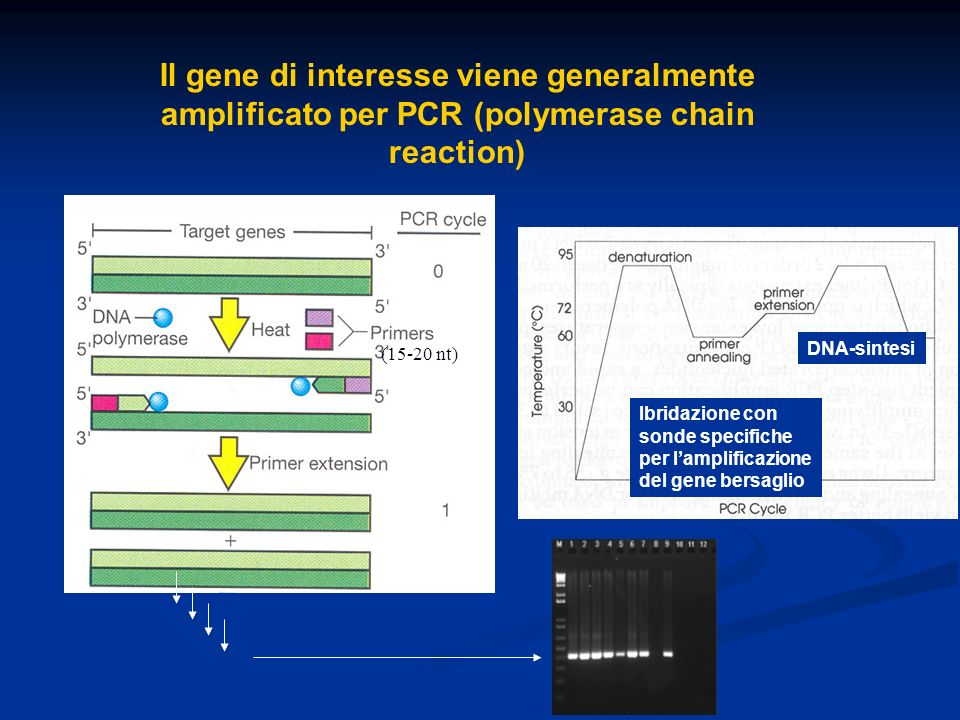 Il gene di interesse viene generalmente amplificato per PCR (polymerase chain reaction)