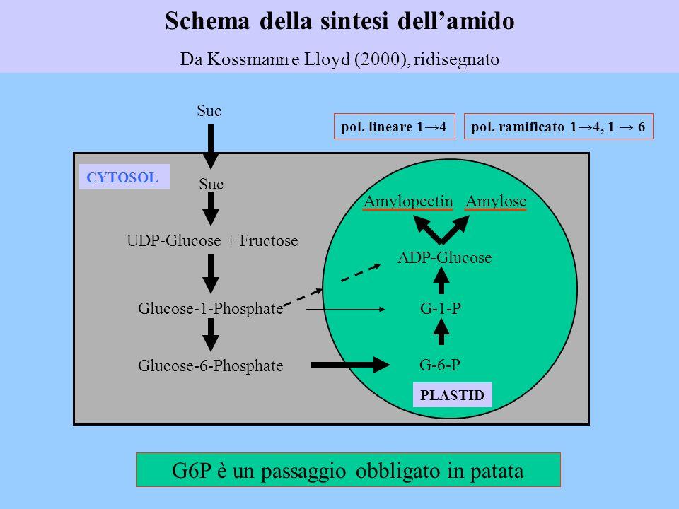 Schema della sintesi dell'amido