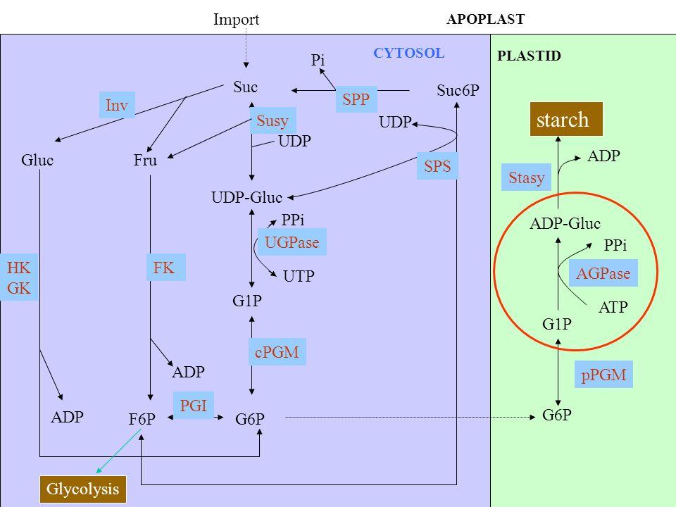 starch Import Pi Suc Suc6P SPP Inv Susy UDP UDP ADP Gluc Fru SPS Stasy