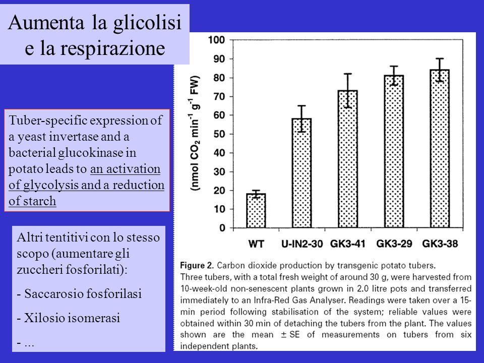 Aumenta la glicolisi e la respirazione