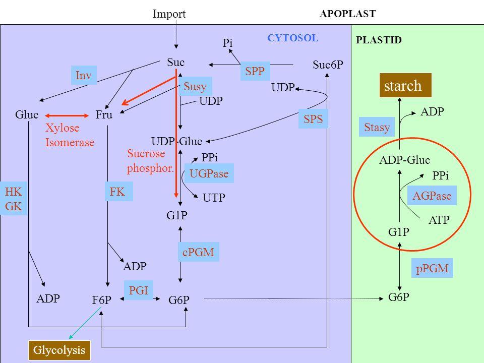 starch Import Pi Suc Suc6P SPP Inv Sucrose phosphor. Susy UDP UDP ADP