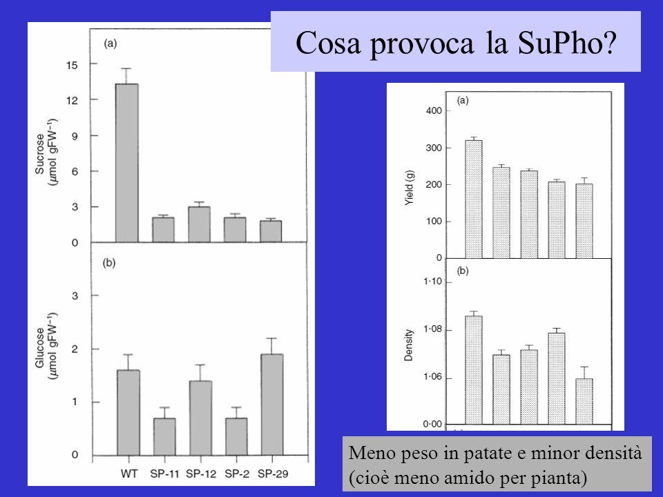 Cosa provoca la SuPho Meno peso in patate e minor densità (cioè meno amido per pianta)