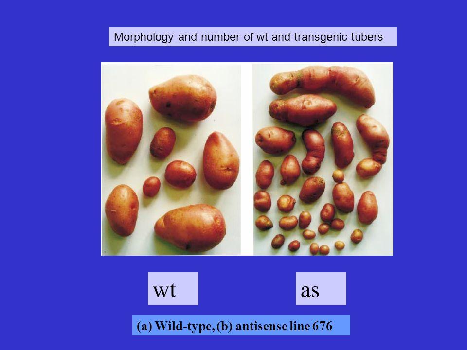 wt as (a) Wild-type, (b) antisense line 676