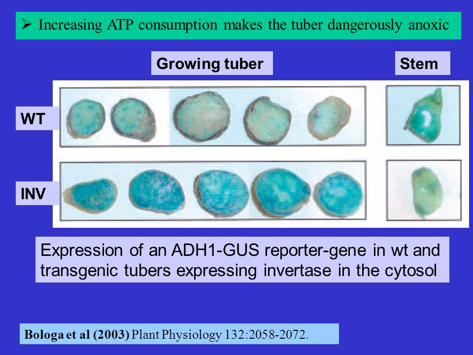 Increasing ATP consumption makes the tuber dangerously anoxic