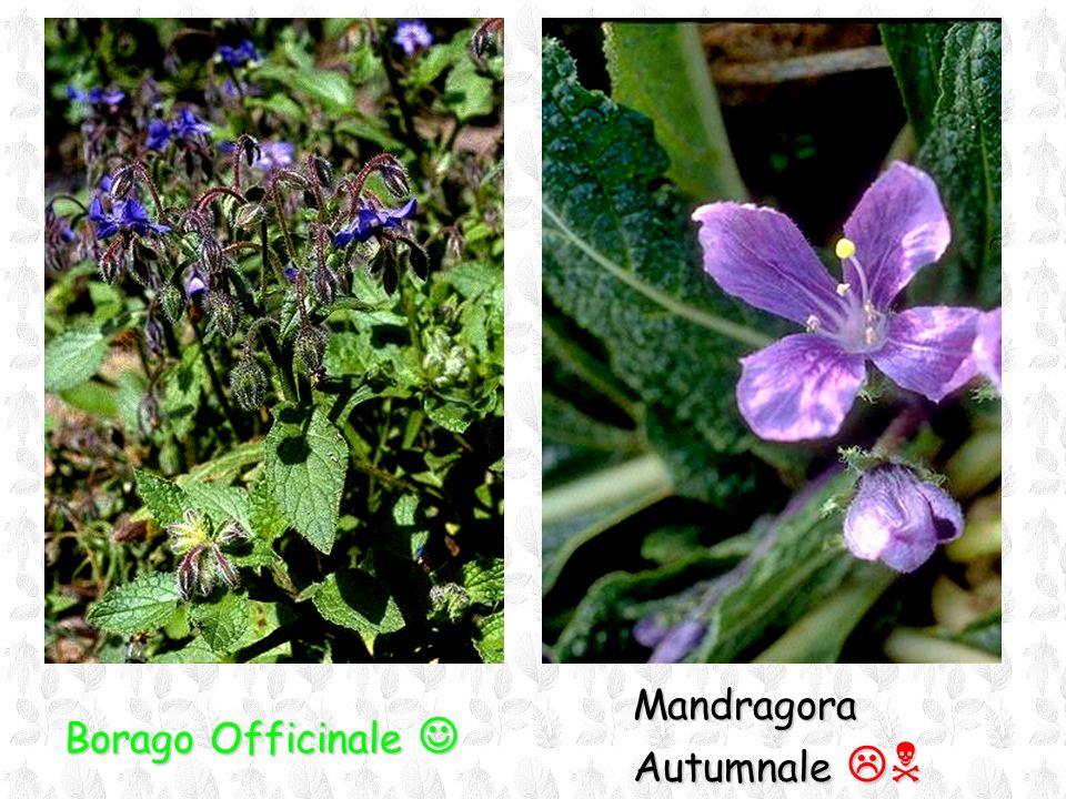 Mandragora Autumnale N Borago Officinale 