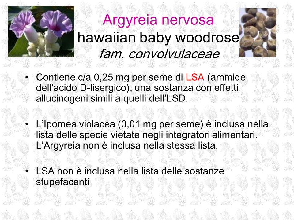Argyreia nervosa hawaiian baby woodrose fam. convolvulaceae
