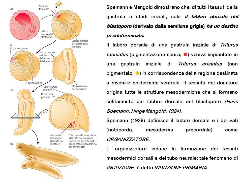 Spemann e Mangold dimostrano che, di tutti i tessuti della gastrula a stadi iniziali, solo il labbro dorsale del blastoporo (derivato dalla semiluna grigia) ha un destino predeterminato.