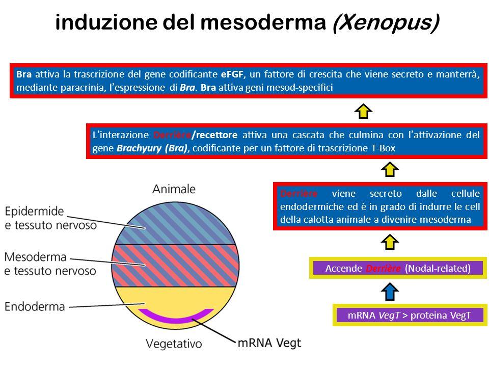 induzione del mesoderma (Xenopus)