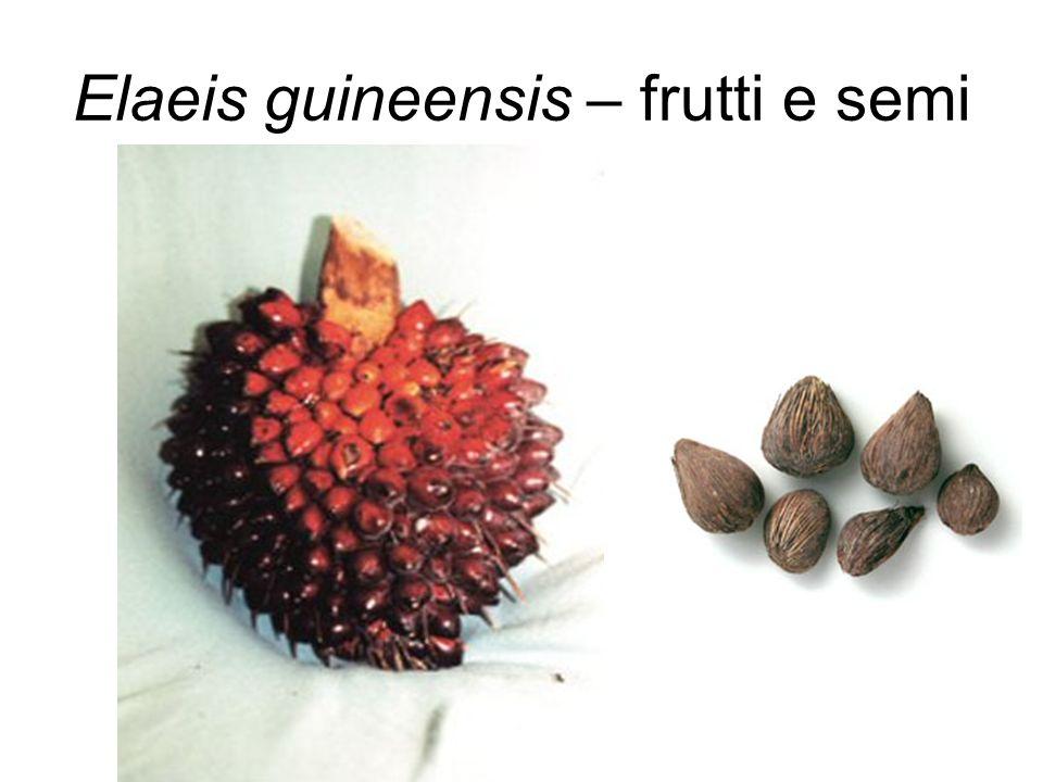 Elaeis guineensis – frutti e semi