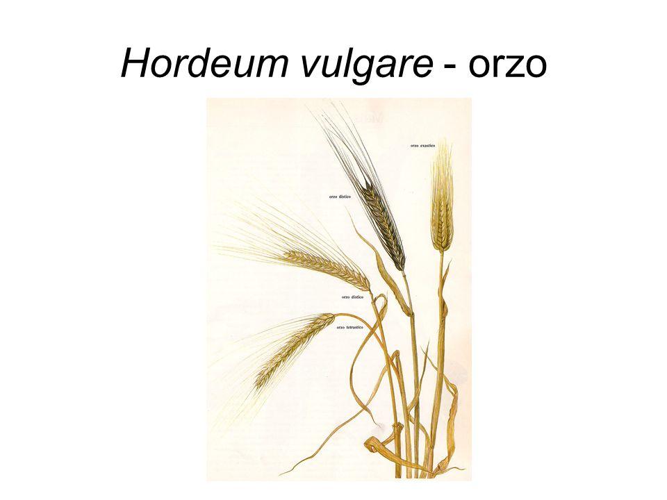 Hordeum vulgare - orzo