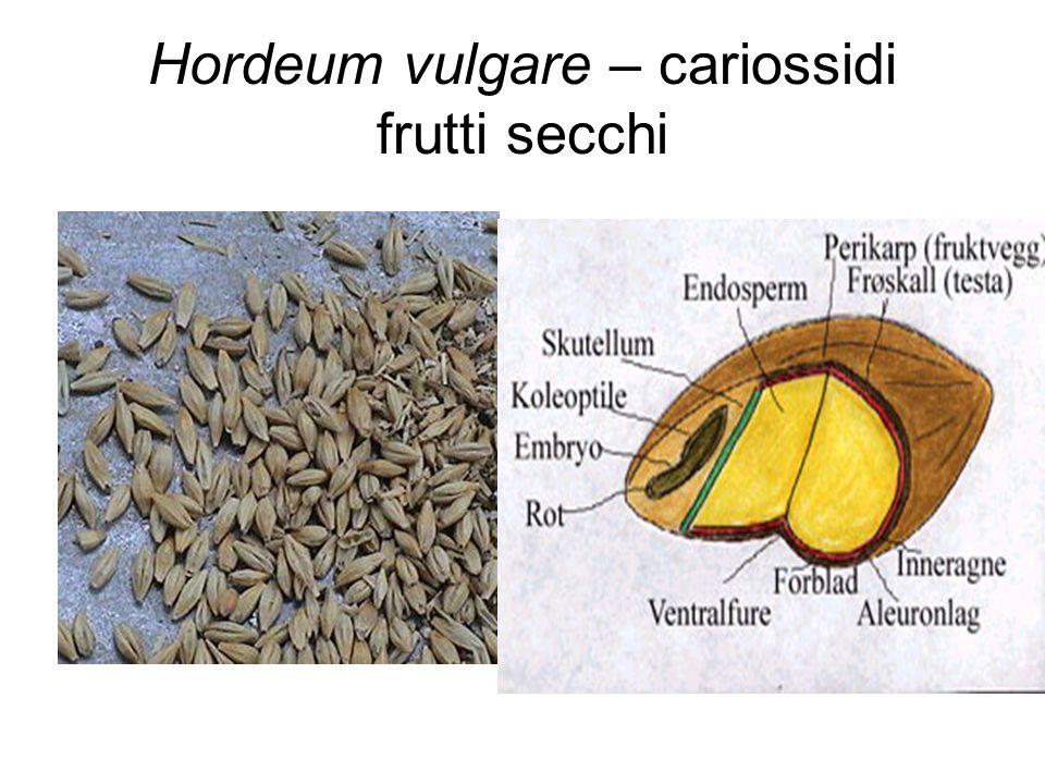 Hordeum vulgare – cariossidi frutti secchi