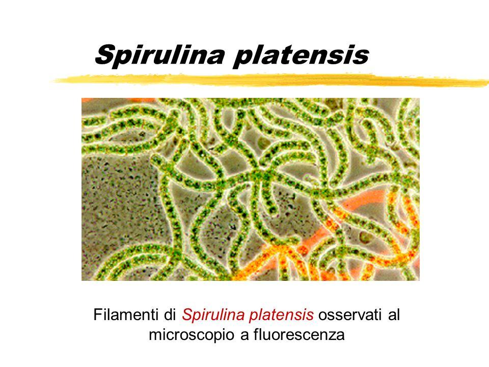 Spirulina platensis Filamenti di Spirulina platensis osservati al microscopio a fluorescenza