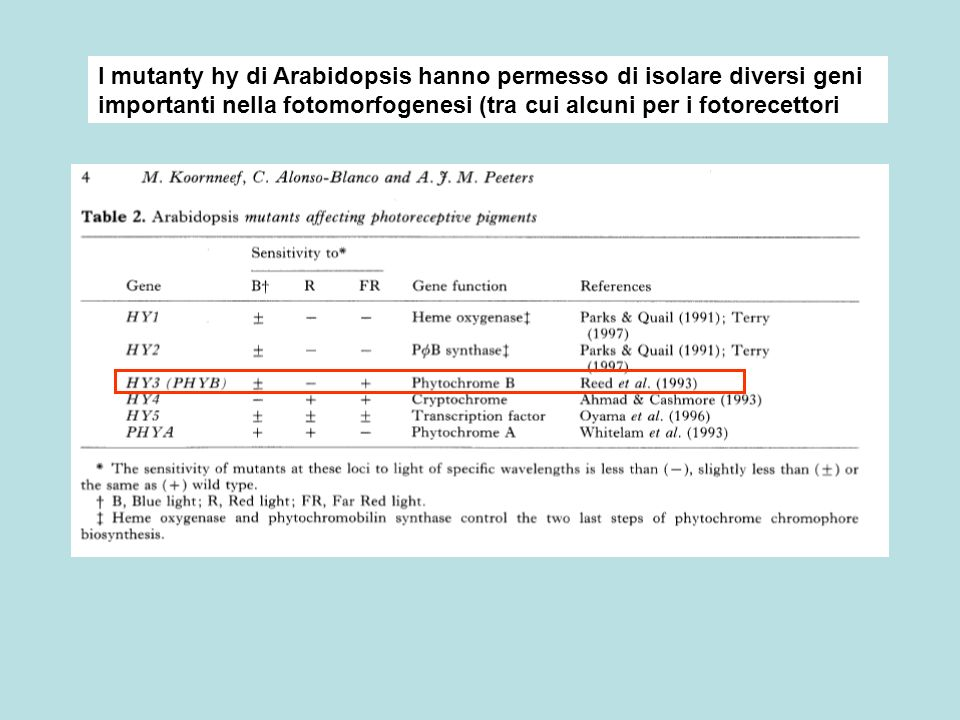 I mutanty hy di Arabidopsis hanno permesso di isolare diversi geni importanti nella fotomorfogenesi (tra cui alcuni per i fotorecettori