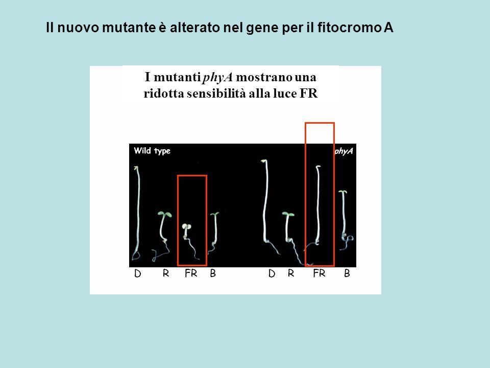 I mutanti phyA mostrano una ridotta sensibilità alla luce FR