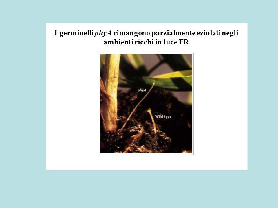I germinelli phyA rimangono parzialmente eziolati negli ambienti ricchi in luce FR