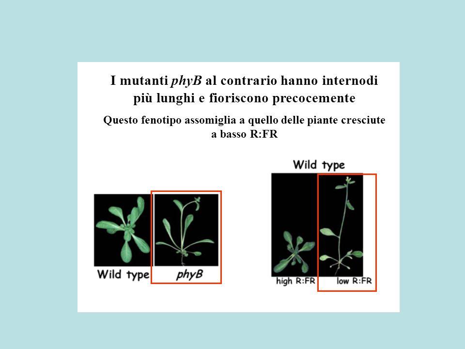 I mutanti phyB al contrario hanno internodi più lunghi e fioriscono precocemente
